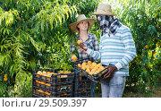Купить «Smiling African-American man harvesting in fruit garden with young woman», фото № 29509397, снято 12 июля 2018 г. (c) Яков Филимонов / Фотобанк Лори