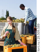 Купить «Positive male and woman vineyard workers sorting new grapes harvest in boxes», фото № 29509589, снято 12 сентября 2018 г. (c) Яков Филимонов / Фотобанк Лори
