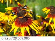 Купить «Бабочка Адмирал (лат. Vanessa atalanta) на цветке рудбекии», фото № 29509985, снято 23 августа 2018 г. (c) Елена Коромыслова / Фотобанк Лори