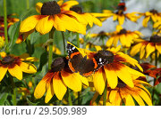 Купить «Бабочка Адмирал (лат. Vanessa atalanta) на цветах рудбекии», фото № 29509989, снято 23 августа 2018 г. (c) Елена Коромыслова / Фотобанк Лори