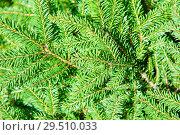 Купить «Фон из еловых ветвей», фото № 29510033, снято 5 августа 2018 г. (c) Екатерина Овсянникова / Фотобанк Лори