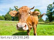 Купить «Коричневая корова на лугу в солнечный день летом», фото № 29510245, снято 5 августа 2018 г. (c) Екатерина Овсянникова / Фотобанк Лори