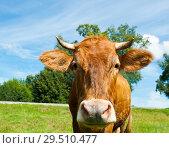 Купить «Коричневая корова на лугу в солнечный летний день», фото № 29510477, снято 5 августа 2018 г. (c) Екатерина Овсянникова / Фотобанк Лори