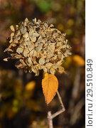 Купить «Засохшие соцветия гортензии осенью», эксклюзивное фото № 29510849, снято 6 ноября 2018 г. (c) lana1501 / Фотобанк Лори
