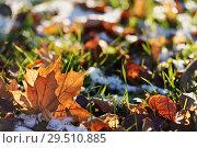 Купить «Yellow leaf on snowy grass», фото № 29510885, снято 29 октября 2018 г. (c) Stockphoto / Фотобанк Лори