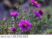 Купить «Многолетнее травянистое растение Астра кустарниковая осенью», эксклюзивное фото № 29510933, снято 6 ноября 2018 г. (c) lana1501 / Фотобанк Лори