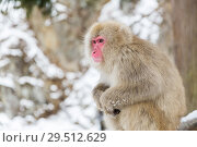 Купить «japanese macaque or snow monkey at jigokudan park», фото № 29512629, снято 7 февраля 2018 г. (c) Syda Productions / Фотобанк Лори