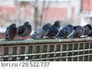 Купить «Flock of gray pigeons», фото № 29522737, снято 25 февраля 2009 г. (c) Argument / Фотобанк Лори
