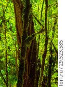 Купить «Background - subtropical forest, yew-boxwood grove with mossy tree trunks», фото № 29523585, снято 25 сентября 2017 г. (c) Евгений Харитонов / Фотобанк Лори