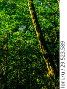 Купить «Background - subtropical forest, yew-boxwood grove with mossy tree trunks», фото № 29523589, снято 25 сентября 2017 г. (c) Евгений Харитонов / Фотобанк Лори