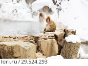 Купить «japanese macaques or snow monkeys in hot spring», фото № 29524293, снято 7 февраля 2018 г. (c) Syda Productions / Фотобанк Лори