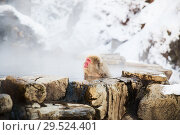 Купить «japanese macaque or snow monkey in hot spring», фото № 29524401, снято 8 февраля 2018 г. (c) Syda Productions / Фотобанк Лори