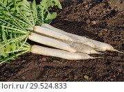 Купить «Урожай дайкона», фото № 29524833, снято 20 сентября 2018 г. (c) Елена Коромыслова / Фотобанк Лори