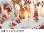 Купить «Branch of birch with yellow leaves covered with snow», фото № 29529869, снято 4 декабря 2018 г. (c) Икан Леонид / Фотобанк Лори