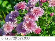 Купить «Розовые хризантемы в саду», фото № 29529933, снято 20 сентября 2018 г. (c) Елена Коромыслова / Фотобанк Лори