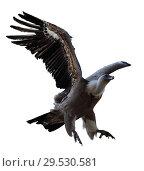 Купить «Griffon vulture flying isolated», фото № 29530581, снято 16 июня 2019 г. (c) Яков Филимонов / Фотобанк Лори