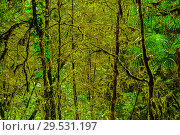 Купить «Background - subtropical forest, yew-boxwood grove with mossy tree trunks», фото № 29531197, снято 25 сентября 2017 г. (c) Евгений Харитонов / Фотобанк Лори