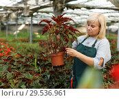 Купить «Mature female gardener working with begonia plants in pots in greenhouse», фото № 29536961, снято 20 августа 2018 г. (c) Яков Филимонов / Фотобанк Лори