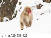 Купить «japanese macaque in snow at jigokudan monkey park», фото № 29538425, снято 7 февраля 2018 г. (c) Syda Productions / Фотобанк Лори