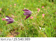 Купить «Pasque flower (Pulsatilla vulgaris hispanica or Anemone vulgaris hispanica) is a subspecies endemic to Cantabrian Mountains. This photo was taken in Somiedo Natural Park, Asturias, Spain.», фото № 29540989, снято 7 июня 2018 г. (c) age Fotostock / Фотобанк Лори
