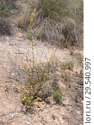 Купить «Gualdon (Reseda lanceolata) is a perennial herb native to southeastern Spain and Magreb. This photo was taken in Sorbas, Almeria province, Andalucia, Spain.», фото № 29540997, снято 15 мая 2016 г. (c) age Fotostock / Фотобанк Лори