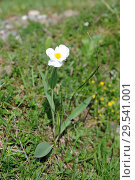 Купить «Pyrenees buttercup (Ranunculus pyrenaeus) is a perennial herb endemic to Pyrenees and Alps. This photo was taken in Valle de Aran, Lleida province, Pyrenees, Catalonia, Spain.», фото № 29541001, снято 14 июня 2013 г. (c) age Fotostock / Фотобанк Лори