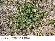 Купить «Corn mignonette or rampion mignonette (Reseda phyteuma) is an annual or biennial herb native to Mediterranean Basin. This photo was taken in Cap Ras, Girona province, Catalonia, Spain.», фото № 29541009, снято 18 марта 2018 г. (c) age Fotostock / Фотобанк Лори
