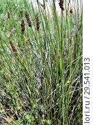 Купить «Cape thatching reed (Elegia tectorum or Chondropetalum tectorum or Restio tectorum) is a perennial plant native to South Africa.», фото № 29541013, снято 18 апреля 2018 г. (c) age Fotostock / Фотобанк Лори