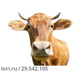 Купить «Коричневая корова, изолировано на белом фоне», фото № 29542105, снято 25 мая 2019 г. (c) Екатерина Овсянникова / Фотобанк Лори