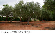 Купить «Fragment of garden with olive trees in November in Cyprus», видеоролик № 29542373, снято 5 ноября 2018 г. (c) Володина Ольга / Фотобанк Лори