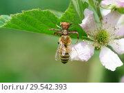 Неравноногий бокоход, или паук-краб (лат. Thomisidae) с пойманной пчелой (лат. Anthophila) на цветке садовой крупноплодной ежевики (лат. Rubus) Стоковое фото, фотограф Наталья Гармашева / Фотобанк Лори