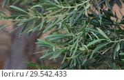 Купить «A fragment of an olive tree branch», видеоролик № 29542433, снято 5 ноября 2018 г. (c) Володина Ольга / Фотобанк Лори