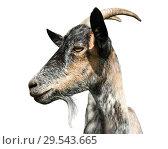 Купить «Серая коза, изолировано на белом фоне (фото в профиль)», фото № 29543665, снято 12 декабря 2018 г. (c) Екатерина Овсянникова / Фотобанк Лори