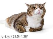 Купить «Big grey cat», фото № 29544381, снято 5 ноября 2018 г. (c) Okssi / Фотобанк Лори