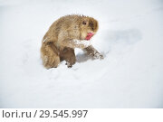 Купить «japanese macaque or monkey searching food in snow», фото № 29545997, снято 8 февраля 2018 г. (c) Syda Productions / Фотобанк Лори