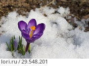Купить «Фиолетовый крокус (лат. Crocus) в снегу», фото № 29548201, снято 16 апреля 2018 г. (c) Елена Коромыслова / Фотобанк Лори