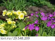 Купить «Цветущие примулы на весенней клумбе», фото № 29548209, снято 14 мая 2018 г. (c) Елена Коромыслова / Фотобанк Лори