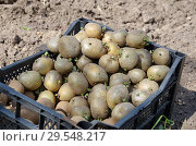 Купить «Проросший семенной картофель в ящике», фото № 29548217, снято 23 мая 2018 г. (c) Елена Коромыслова / Фотобанк Лори