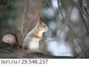 Купить «Squirrel in the forest sitting on a tree», фото № 29548237, снято 4 декабря 2018 г. (c) Яна Королёва / Фотобанк Лори