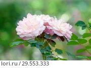 Купить «Розовые розы на размытом фоне  сада», фото № 29553333, снято 6 июля 2017 г. (c) Татьяна Белова / Фотобанк Лори