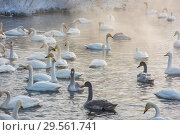 Купить «Beautiful white whooping swans», фото № 29561741, снято 2 декабря 2018 г. (c) Jan Jack Russo Media / Фотобанк Лори