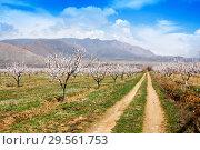 Купить «Apricot farm during sping season against Vayk mountain range, Vayots Dzor Province», фото № 29561753, снято 16 марта 2018 г. (c) Papoyan Irina / Фотобанк Лори