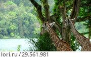 Купить «Two Giraffes in savannah», видеоролик № 29561981, снято 28 ноября 2018 г. (c) Игорь Жоров / Фотобанк Лори
