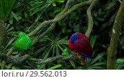 Купить «Green and red couple parrots», видеоролик № 29562013, снято 29 ноября 2018 г. (c) Игорь Жоров / Фотобанк Лори