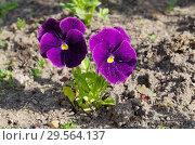 Фиалка трехцветная (лат. Viola tricolor), или анютины глазки. Стоковое фото, фотограф Елена Коромыслова / Фотобанк Лори