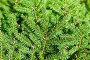 Купить «Зеленые ветви ели», фото № 29564745, снято 5 августа 2018 г. (c) Екатерина Овсянникова / Фотобанк Лори