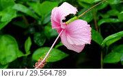 Купить «Pink hibiscus flower after rain», видеоролик № 29564789, снято 22 ноября 2018 г. (c) Игорь Жоров / Фотобанк Лори