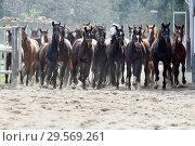 Купить «Stuet Graditz, Horses gallop on a sand paddock», фото № 29569261, снято 15 апреля 2018 г. (c) Caro Photoagency / Фотобанк Лори