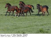 Купить «Stuet Etzean, mares and foals in gallop on the pasture», фото № 29569297, снято 24 апреля 2018 г. (c) Caro Photoagency / Фотобанк Лори