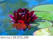 Купить «Бордовый цветок водяной лилии в пруду», фото № 29572249, снято 11 июля 2018 г. (c) Татьяна Белова / Фотобанк Лори